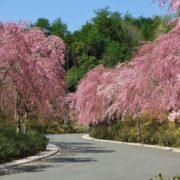 枝垂れ桜のプロムナード