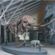 アケボノゾウの復元全身骨格標本
