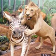 シマウマを獲物にする瞬間のライオン