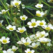 梅花藻(米原市醒井資料館提供)
